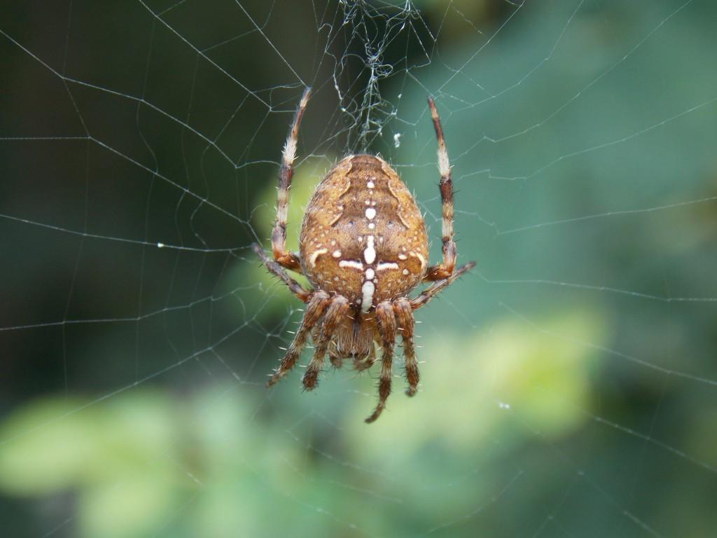Araignée dscn1335