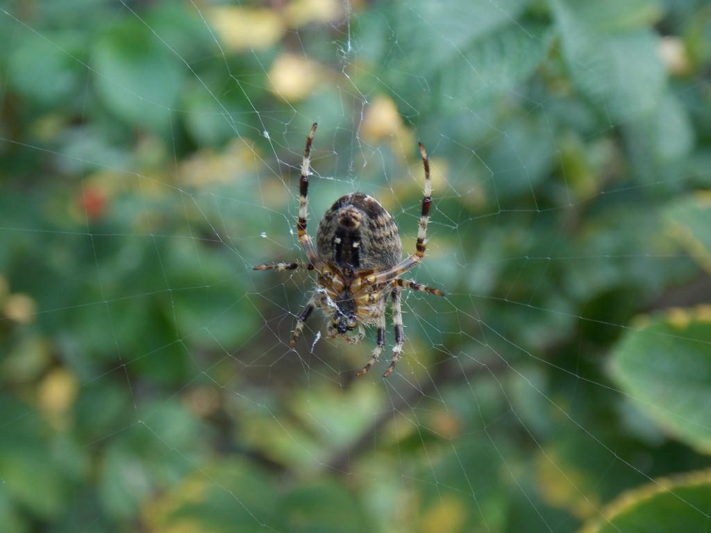 Araignée  dscn1337