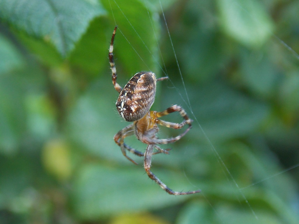 Araignée rscn1345